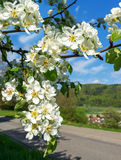 Branch of a blossoming pear tree Royalty Free Stock Photos