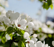 Branch of the blossoming pear tree Stock Image