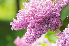 Branch of blossoming pink lilac Royalty Free Stock Photography