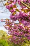 Branch of blossoming pink sakura tree royalty free stock photo