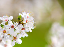 Branch of blossoming plum Stock Image