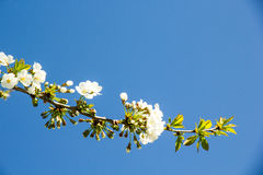 Branch of blossoming plum Royalty Free Stock Images