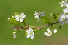 Branch of a blossoming plum tree closeup on green background Stock Photo