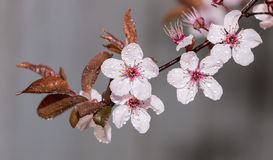 Branch of blossoming plum tree on gray background Royalty Free Stock Image