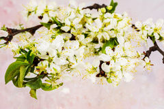Branch of a blossoming plum tree isolated Royalty Free Stock Images