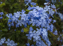 Branch of blossoming plumbago auriculata , beautiful blue flowers Royalty Free Stock Images