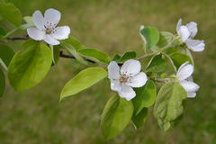Branch of a blossoming quince of oblong (Cydonia oblonga) Royalty Free Stock Images