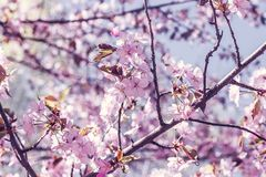 Branch with blossoming sakura flowers, Japanese garden. In spring royalty free stock image