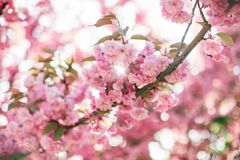 Branch with blossoming sakura flowers in the sun stock photography