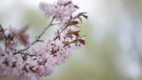 Branch of the blossoming sakura stock video