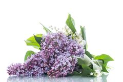 Branch of blossoming spring lilac on a white background. Branch of blossoming spring lilac isolated on a white background Royalty Free Stock Photo
