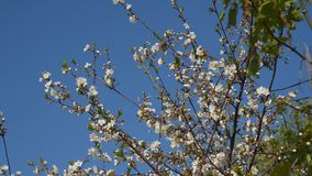 Branch of a blossoming tree against the blue sky.  stock video footage