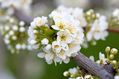 Branch of a blossoming tree with beautiful white flowers Royalty Free Stock Photo