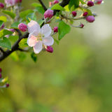 Branch of a blossoming tree with beautiful pink flowers Stock Images