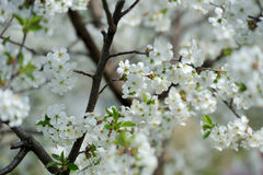 Branch of a blossoming tree Royalty Free Stock Photography