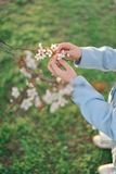 Branch of a blossoming tree and children's hands Royalty Free Stock Photo