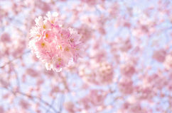 A branch of a blossoming tree with pink flowers against the blue sky. Spring flowering. A branch of a blossoming tree with pink flowers against the blue sky royalty free stock photos