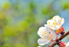 Branch of blossoming tree Royalty Free Stock Photography