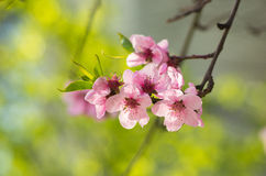 Branch of a blossoming tree in spring. Stock Photo