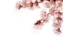 Branch of a blossoming tree on a white background Stock Photo