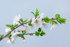 Branch of a blossoming tree Stock Image