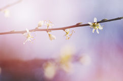 A branch of a blossoming tree with white flowers against the sunny, bright sky. Spring flowering Royalty Free Stock Image