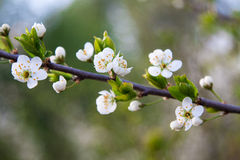 Branch of a blossoming tree with white flowers Royalty Free Stock Photography