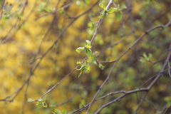 Branch of blossoming tree with yellow flowers in spring. Branch of blossoming tree with yellow flowers and tiny small young leaves in spring closeup stock images