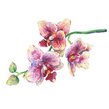 The branch of blossoming tropical pink flowers orchids, close-up  Phalaenopsis, orchis. Royalty Free Stock Photo