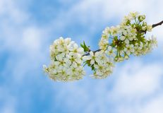 Branch with blossoming Ukrainian cherry Royalty Free Stock Photos