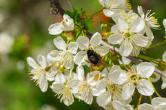 Branch with blossoming Ukrainian cherry Royalty Free Stock Images