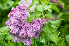 Branch of blossoming violet lilac Stock Photos