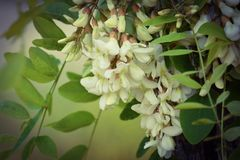 The branch of blossoming white acacia Royalty Free Stock Images