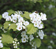 A branch of a blossoming white flowers of hawthorn bush Royalty Free Stock Image