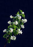 Branch of blossoming white jasmine flowers Stock Photo