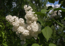 Branch of blossoming white lilac Royalty Free Stock Photo