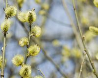 Branch of blossoming willow with catkins on bokeh background, selective focus, shallow DOF Stock Photo
