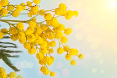 Branch of the blossoming yellow mimosa Stock Photography