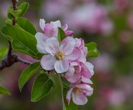 Branch with blossoms of apple tree bloomed in spring royalty free stock images