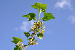 A branch of blossoms currant. Royalty Free Stock Image