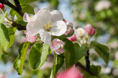 A branch of blossoms in early spring Stock Photo