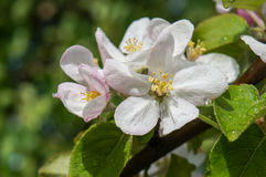 A branch of blossoms in early spring Royalty Free Stock Images