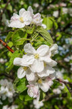 A branch of blossoms in early spring Stock Photography