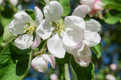 A branch of blossoms in early spring Stock Photos