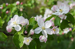 A branch of blossoms in early spring Royalty Free Stock Image