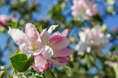 A branch of  blossoms in early spring Stock Image