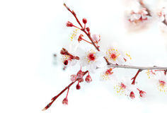 Branch with blossoms Stock Photography