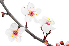 Branch with blossoms. Isolated on white background. Stock Images