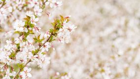 Branch with blossoms Sakura. Abundant flowering bushes with pink buds cherry blossoms in the spring. Prunus incisa. Long width. Banner stock photos