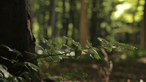 Branch blowing in the wind. In a forest stock video footage